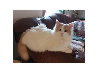 Turkish Van Thor Cat Breed File Commons