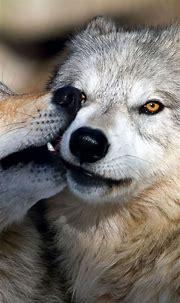 Animal / Wolf (1080x1920) Mobile Wallpaper   Beautiful ...