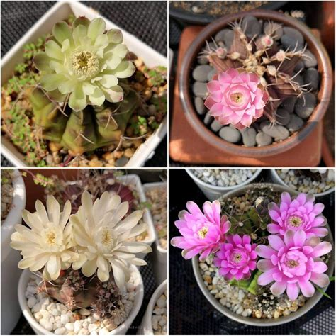 #gymnocalycium #ยิมโน #แคคตัส #กระบองเพชร #cactus ในปี ...