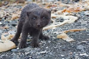 Black Dogs That Look Like Foxes