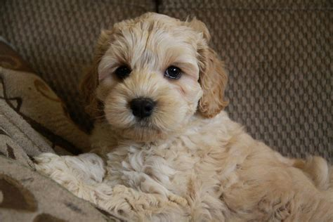 cocker spaniel x havanese puppies for sale puppies for