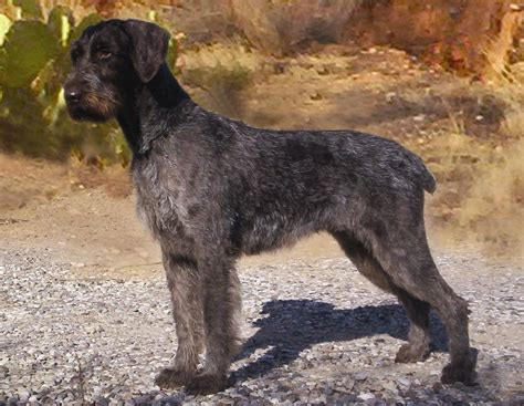 German Wirehaired Pointer Shedding by 1000 Images About Drahthaars On