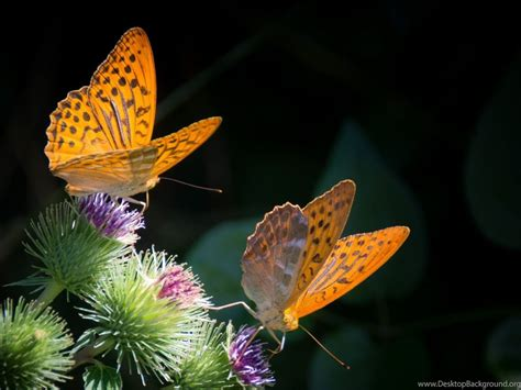 Full Hd 1080p Butterfly Wallpapers Hd, Desktop Backgrounds