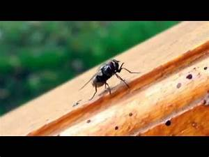 House Fly poop - YouTube