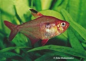 Poisson Aquarium Eau Chaude : bystrzyk barwny ~ Mglfilm.com Idées de Décoration