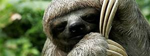 Pygmy Three Toed Sloth | www.pixshark.com - Images ...