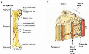 1 Structure And Components Of Long Bone   A  Long Bones