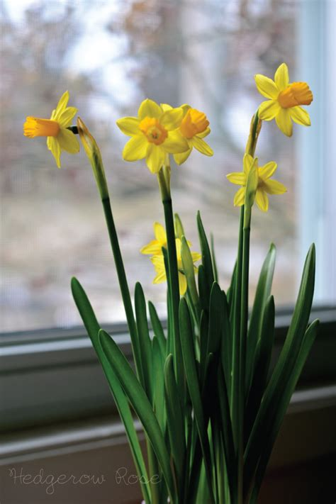 t 234 te 224 t 234 te daffodils