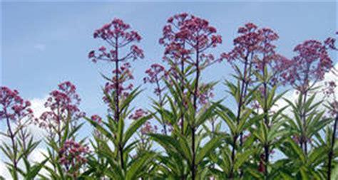 hochwachsende stauden winterhart gro 223 e stauden pflanzen f 252 r nassen boden