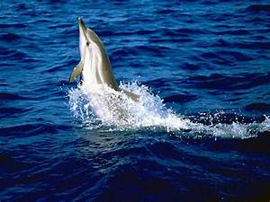 Diagram Of A White Sided Dolphin White Side Dolphin ...