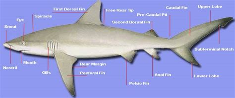 Bull Shark Anatomy Sha...Shark Anatomy
