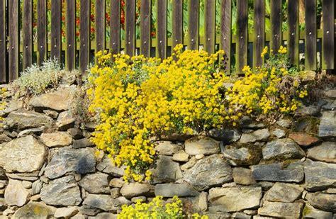pflanzen für trockenmauer welche pflanzen wachsen in einer trockenmauer phlora de