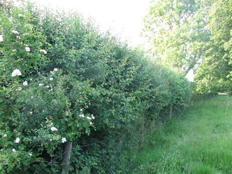 Why And How To Plant A Native British Hedge An Easy To