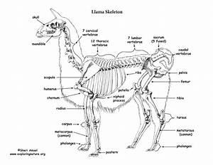 Llama Skeletal Anatomy