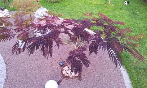 schlafbaum seidenakazie zurueckschneiden pflegen