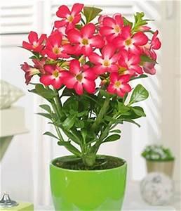 bluhende zimmerpflanzen online kaufen baldur garten With garten planen mit ausgefallene zimmerpflanzen kaufen