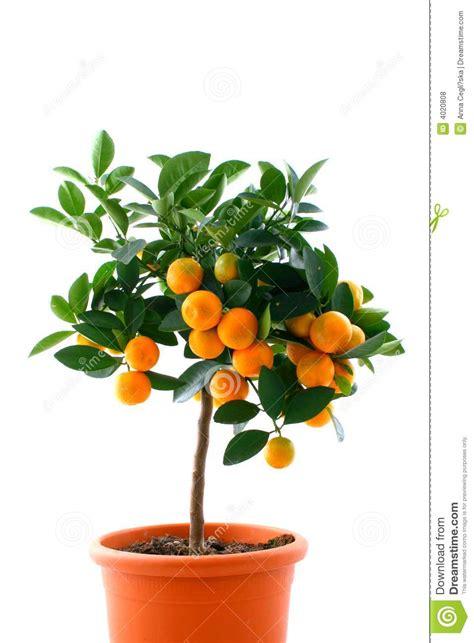 Citrus Tree With Fruit Small Orange Stock Photo Image