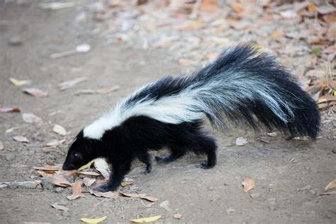 Skunk Control Treatments And Repellent For The Home Yard