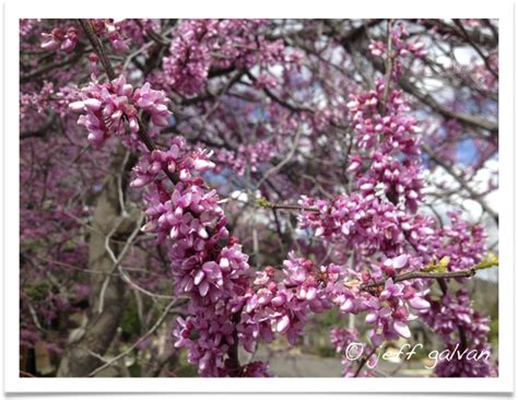 buds tree care eastern redbud flowers boulder tree care pruning tree removal services