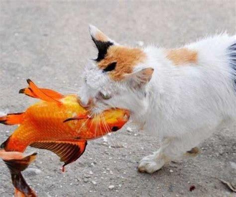 cat catching goldfish  klykercom