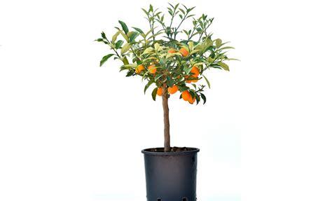 pianta di mandarino in vaso pianta di mandarino cinese o kumquat in vaso 20 22 cm