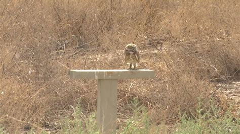 Artificial nest sites help burrowing owls population in Texas