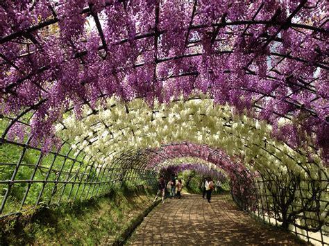 japanese wisteria tunnel wisteria tunnel in japan globetrotting supernova