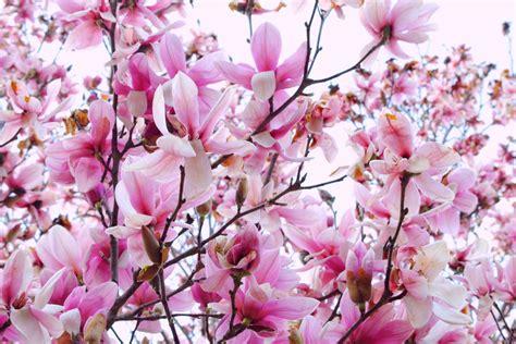 magnolia wallpapers wallpaper cave