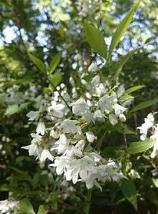 Weiß Blühender Strauch : wei bl hender strauch sucht einen namen deutzia gracilis ~ Lizthompson.info Haus und Dekorationen