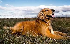 golden retriever temperament exercise and pictures