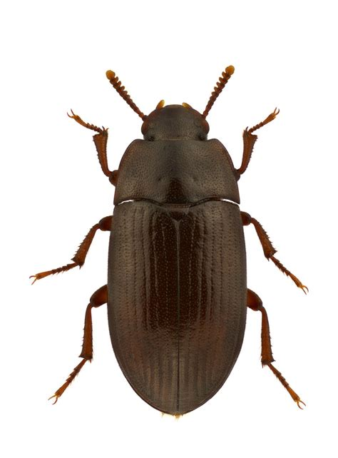 LITTER BEETLE CONTROL   PEST CONTROL CHEMICALS 800-877-7290
