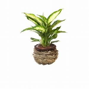 Robuste Zimmerpflanzen Groß : zimmerpflanzen g nstig online kaufen mein sch ner garten shop ~ Sanjose-hotels-ca.com Haus und Dekorationen