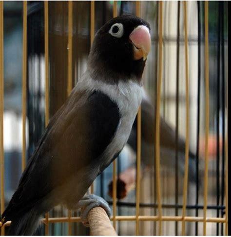 kumpulan gambar lovebird batman burungmaster
