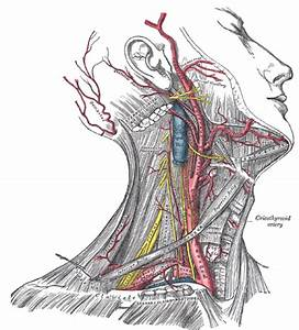 The Anatomy Of The Neck  Part Three  Muscles Of The Neck