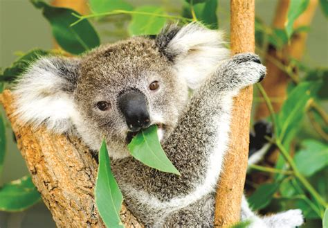 Koala Army Set To 'wage Peace' On Federal Politicians