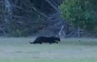 louisiana cat big black cat on in louisiana update not a