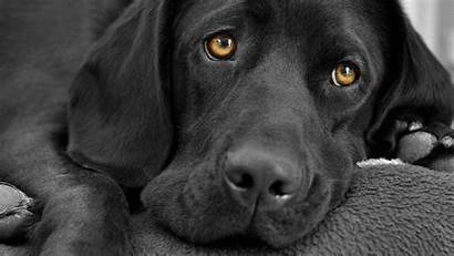 Labrador Wallpapers Dog Wallpaperplay