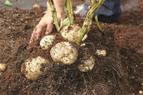 How To Plant, Hill And Harvest Potatoes Hgtv