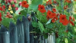 Sichtschutz Pflanzen Blühend : kletterpflanzen als sichtschutz die besten pflanzen ~ Markanthonyermac.com Haus und Dekorationen