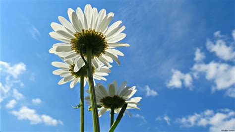 blue sky daisies wallpapers hd wallpapers id