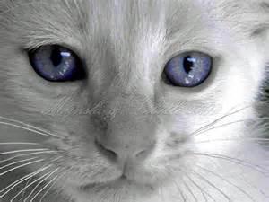Siamese Cat Blue Eyes