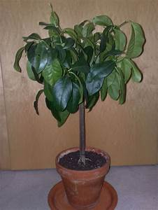 Avocado Pflanze Pflege : 1000 bilder zu pflanzen und gem se vermehren multiply ~ Lizthompson.info Haus und Dekorationen