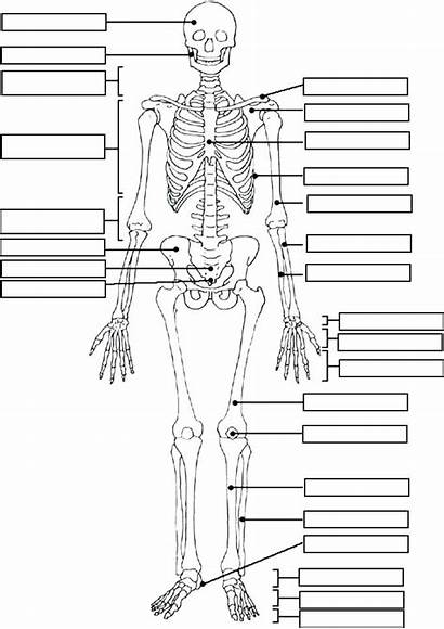 Coloring Anatomy Muscular System Muscles Pages Muscle