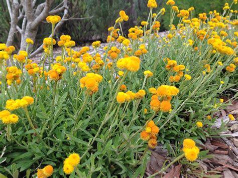 Natives 3 Tips For A High Impact Australian Garden