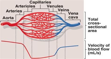 capillary bed definition fluid exchange in capillaries at s