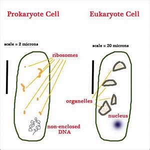 Wiring Diagram  35 Diagram Of Prokaryotic And Eukaryotic Cell