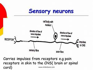 Sensory Neuron Diagram
