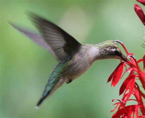 hummingbird flowers january 2013 eye on nature
