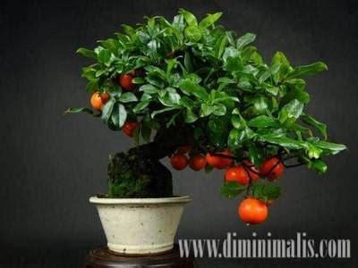 membuat bonsai buah  rumah  semakin indah