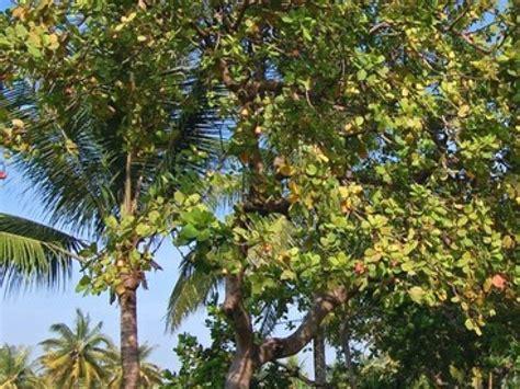 exposition cuisine l 39 anacardier l 39 arbre aux noix de cajou